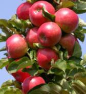 wanneer appels oogsten